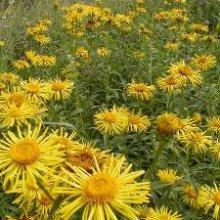 Трава девясил и ее использование в народной медицине