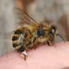 Лечение рассеянного склероза пчелами — советы