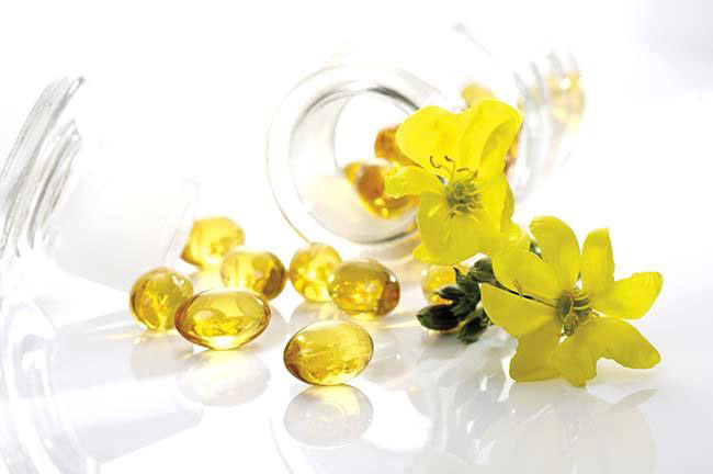 Evening primrose capsules and evening primrose flowers (Oenothera biennis)