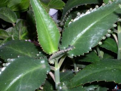 Сок каланхоэ — противовоспалительный препарат для широкого применения