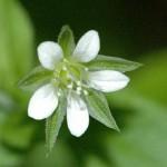 Растение пастушья сумка и его лечебные свойства