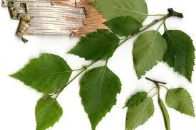 Эффективное воздействие на функцию почек оказывает смесь из листьев шалфея, березы спорыша