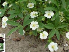 Настойка белой лапчатки – универсальное средство для здоровья и долголетия