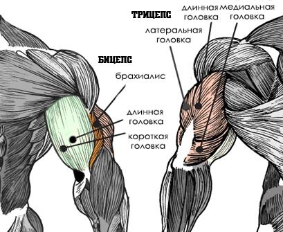 Мышцы антагонисты: примеры, особенности и преимущества
