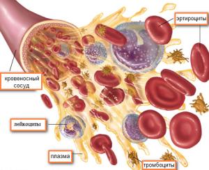 Лейкоциты выполняют защитную иммунную функцию организма, уничтожая микроорганизмы и вирусы
