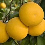 Разбираемся, почему грейпфрут горький?