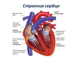 Сердце - один из главных органов системы кровообращения