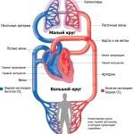 Сердце и круги кровообращения у человека