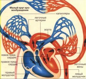 Основная задача малого круга кровообращения - теплообмен и циркуляция кислорода