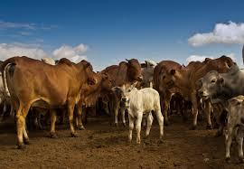 Животные - основной источник заражения