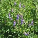 Хельба: полезные свойства растения