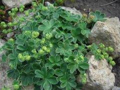 Трава манжетка: применение в лечебных целях