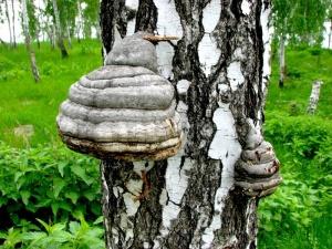 Березовый гриб - надежный помощник в борьбе с недугом