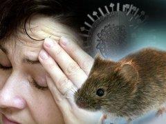 Симптомы мышиной лихорадки: основные признаки и проявления болезни