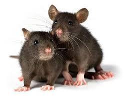 Следует знать о симптомах мышиной лихорадки