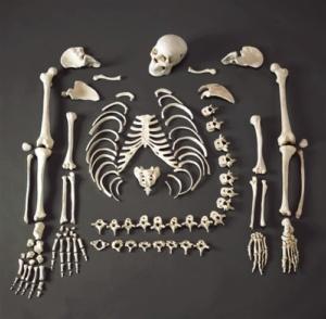 Скелет человека состоит из 206 костей