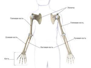 Основная функция скелета верхних конечностей - обеспечение разнообразных движений руками