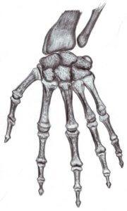 В строении скелета верхней конечности возможно наличие аномалий