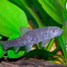 Рыба-доктор Гарра руфа: лекарь в мире природы