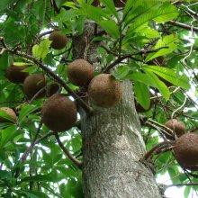 Как растет бразильский орех: польза и вред продукта