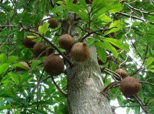 Бразильские орехи растут на дереве