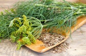 Семена укропа приносят пользу