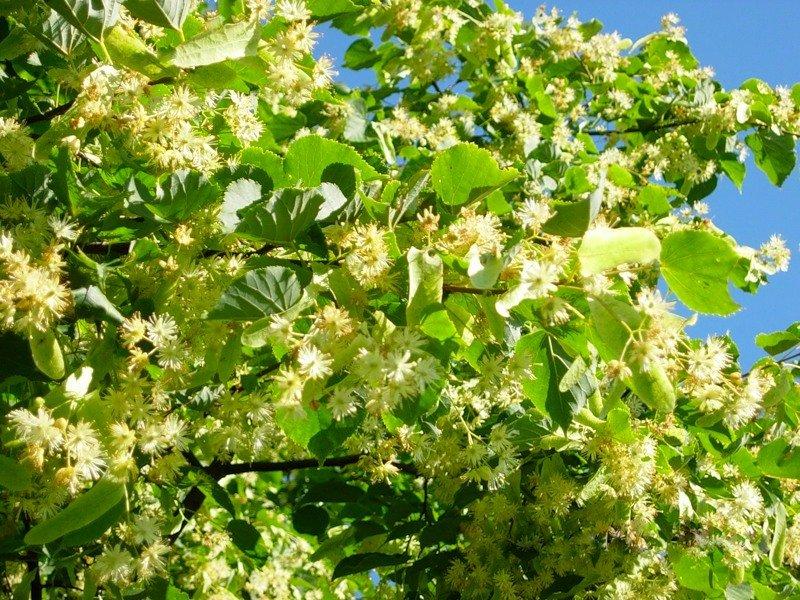 Как использовать цветы липы для похудения
