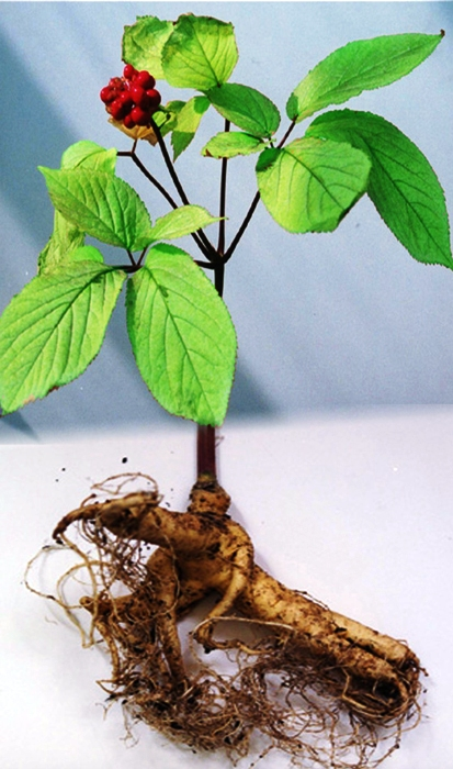 Применение корня женьшеня