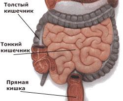 Какова длина кишечника