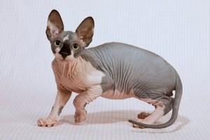 Животное, которое не вызывает болезненных реакций, просто мечта всех аллергиков