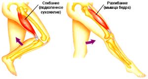 Практически все мышцы антагонисты находятся во взаимодействие с одним или двумя суставами