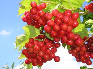 Польза красной калины: лечебные свойства и применение