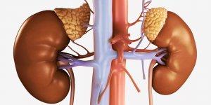 Надпочечники - парный эндокринный орган