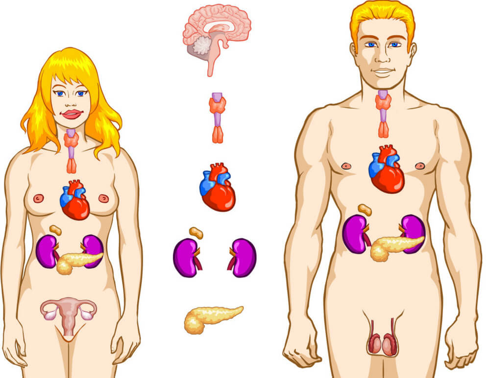 Гормоны и их функции в человеческом организме, таблица гормонов